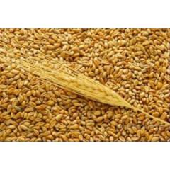 Wheat export of CIF