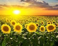 Sunflower for Expor
