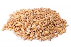 Wheat fodder, in bulk