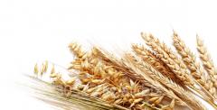 Barley fodder, food, light, Kazakhstan