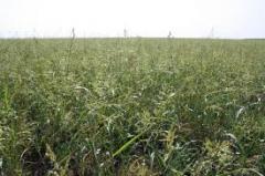 Травы кормовые