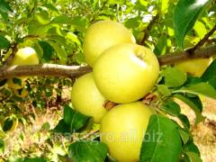 Apples grade Gold-excellen