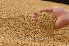 Пшеница мягкая продовольственная