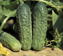 Seeds of cucumbers of Ajax F1v Almaty