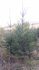 Fir-tree Siberian From 1,0 to 1,4 meters