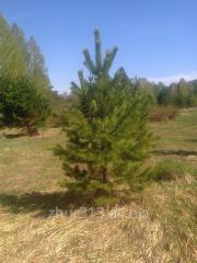 Pine saplings