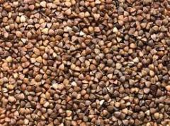 Quality buckwheat of domestic producers