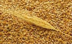 Krmné pšenice 5 třída,  velká párty