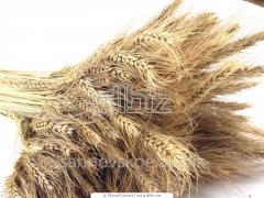Class wheat IV