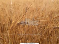 Wheat IV of class 1046-2008