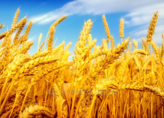 Wheat of the 4th class