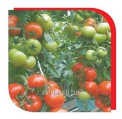 Tomatoes indeterminantny Platus F1