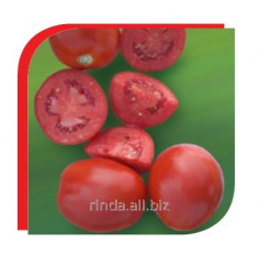 Seeds of tomatoes determinant for processing Fuzer