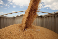 Grain crops for Expor