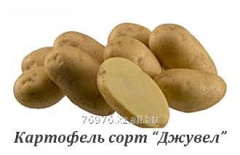 "Potatoes grade of ""Dzhuvel"