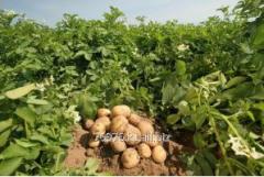 "Potatoes grade of ""MEGUSTA"","