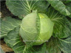 Seeds of cabbage of white Bourbon of F1