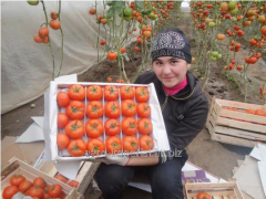 F1 Shallot tomato seeds