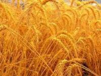 Семена пшеницы,кукурузы,подсолнечника,ячменя.