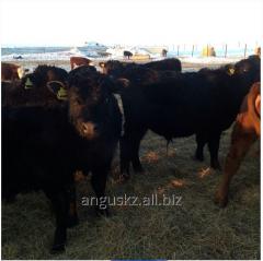 Корова племенная молодняк Angus