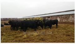 Bull black breeding 1 category