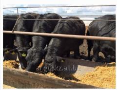Bull-calves breeding Angus