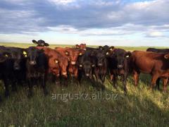 Племенные телки Angus 2013 года