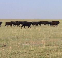 Bull breeding 1st category Angus