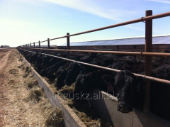 Bull-calves breeding black Angus