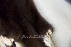 Fur mink (Turkey) 008