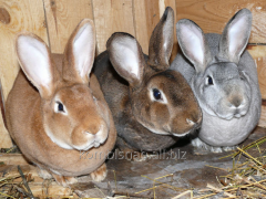 Compound feed for rabbits fattening