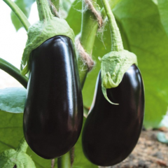 Seeds of eggplants of F1 Almalik