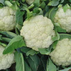 F1 cauliflower seeds Freestyle