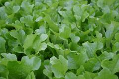 Credo salad seeds