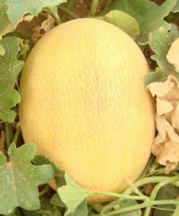 Melon seeds Altyn F1
