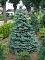 White fir Abies concolor, h of cm 40-60