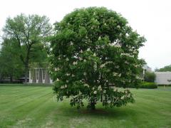 Horse chestnut Aesculus Hippocastanum, h of cm