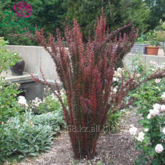 Berberis thunb Japanese barberry. Helmond Pillar,