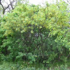 Pea tree of Caragana Arborescens, h of cm 60-90