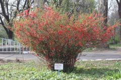 Japan quince Chaenomeles Japonica, h of cm 40-60