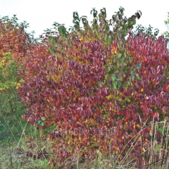 Dogwood krovavo red Cornus sanguinea, h of cm