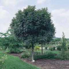 Ash-tree of Fraxinus Excelsior, h of cm 100-120