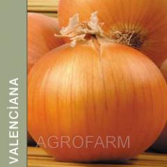 Onions of seeds Mai Valencia