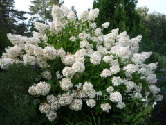 Panicle hydrangea Hydrangea pan. Grandiflora, h of