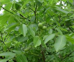 Nut of Juglans Regia, h of cm 30-50