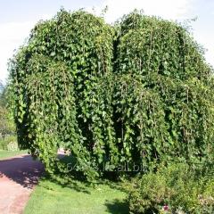 Mulberry of Morus Alba, h of cm 60-90