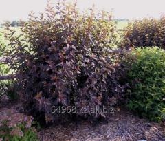 Common ninebark of Physocarpus opulifolius