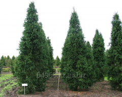 Norway spruce Picea abies, h of cm 40-60