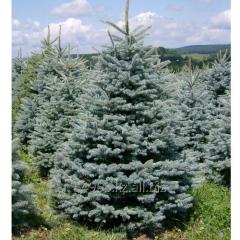 Colorado spruce Picea pungens Glauca, h of cm