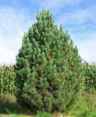Сосна кедровая Pinus cembra, h см 10-15